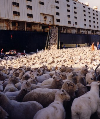 Sheep being loaded onto a ship for transportation, Australia