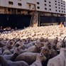 Welfare issues for sheep