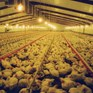 USA chicken farming investigation