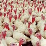 Welfare issues for turkeys