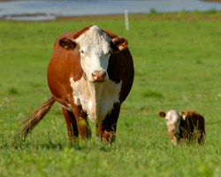 Cow with calf in field of grass
