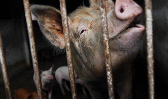 Face Of Sow In Barren Pen With Piglets Behind China