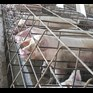 Feeding of dead piglets to sows shocks nation