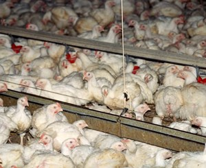Welfare of EU broiler chickens
