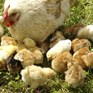 Unilever pledges solution to killing of male chicks