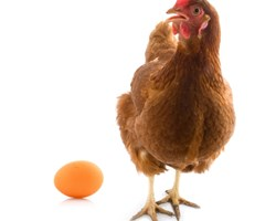 hen with egg