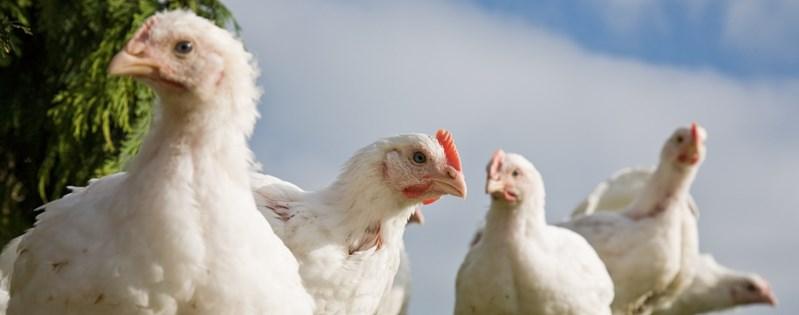 Better Chicken Initiative Compassion Usa